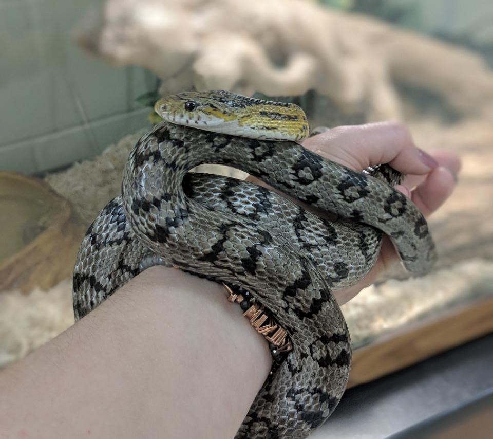 Owner Laurel Schmitz holds Loogie, a 7-year-old, 4-foot-long, nonvenemous corn snake.